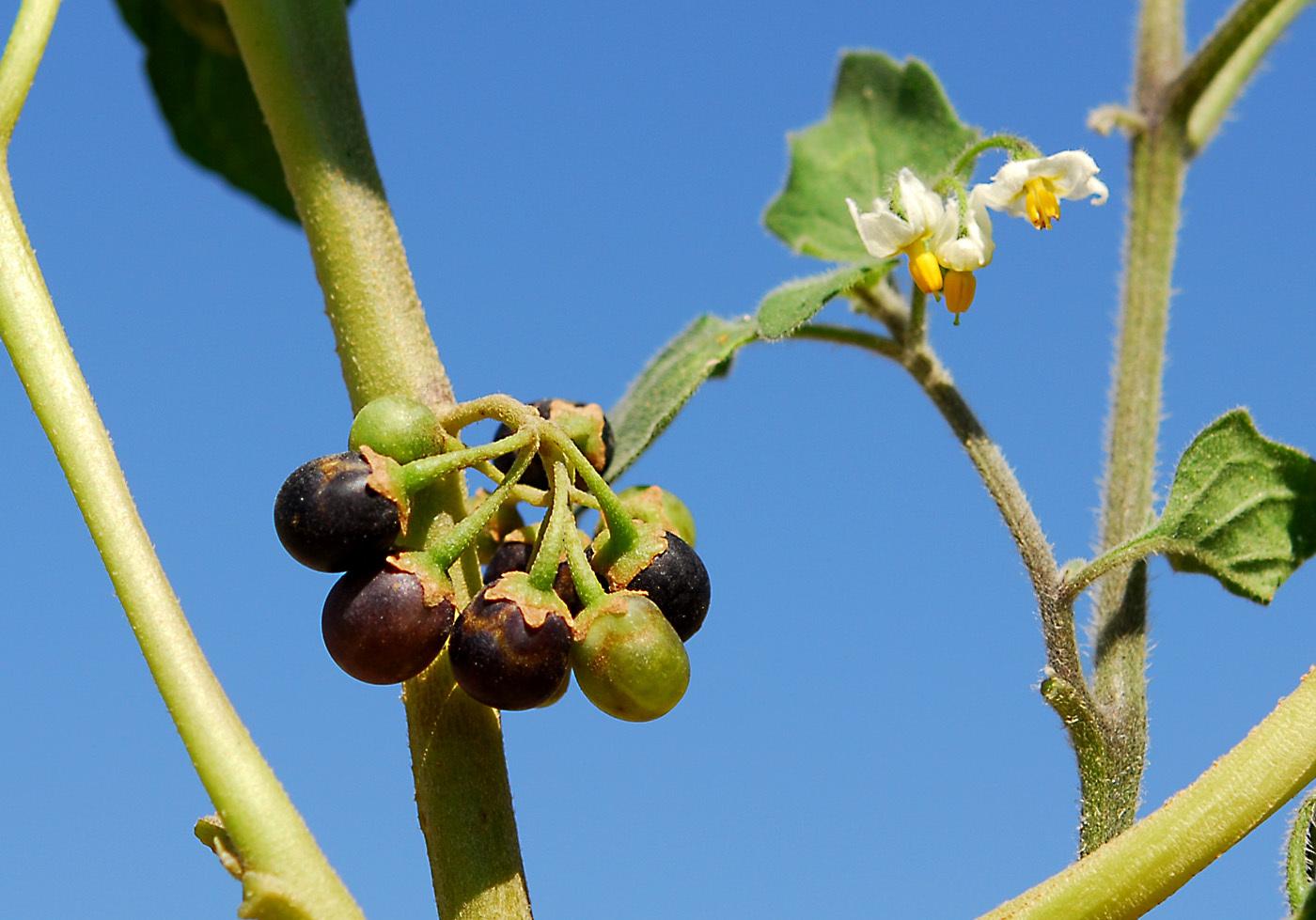 https://pictures.bgbm.org/digilib/Scaler?fn=Cyprus/Solanum_nigrum_C1.jpg&mo=file