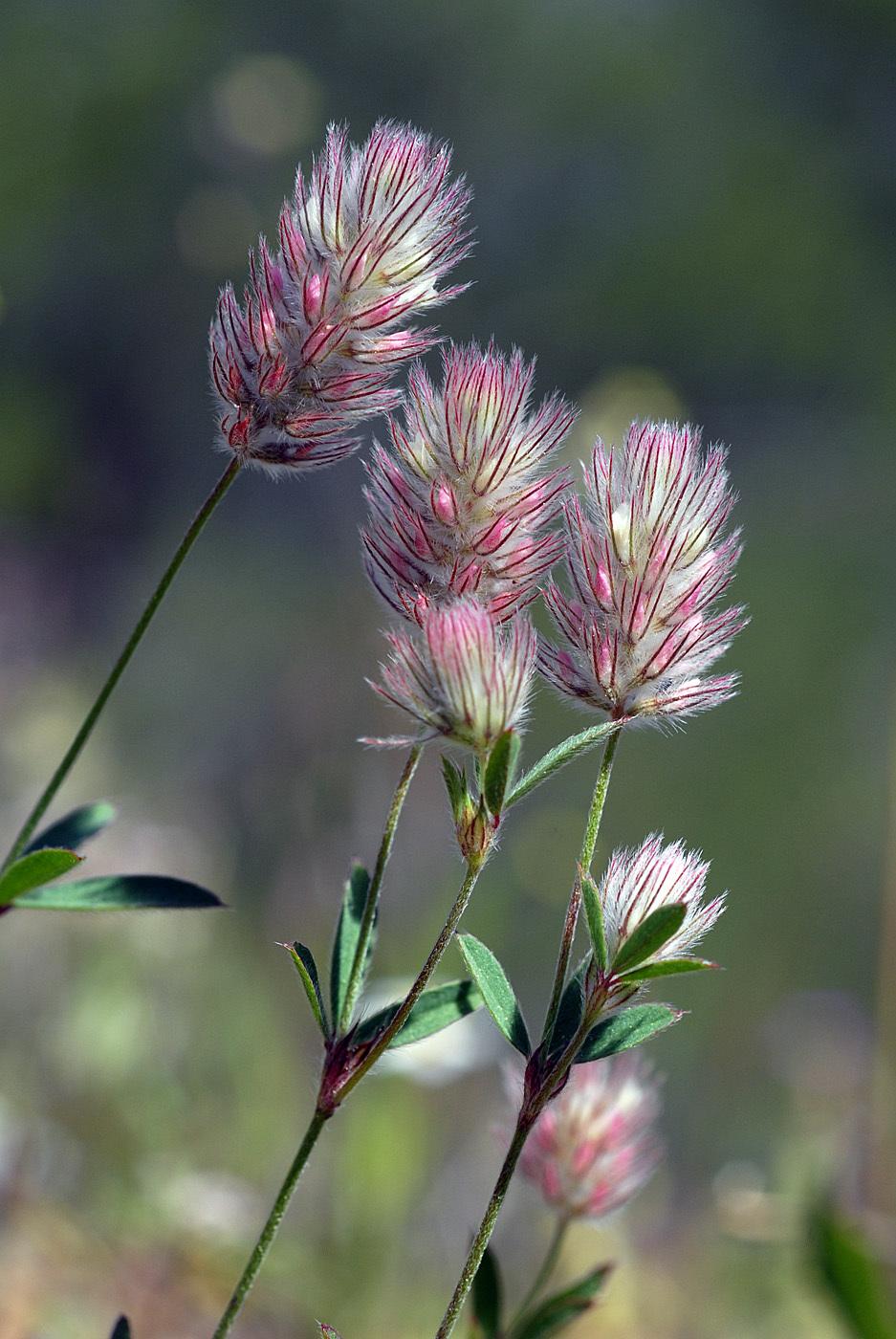https://pictures.bgbm.org/digilib/Scaler?fn=Cyprus/Trifolium_arvense_B1.jpg&mo=file