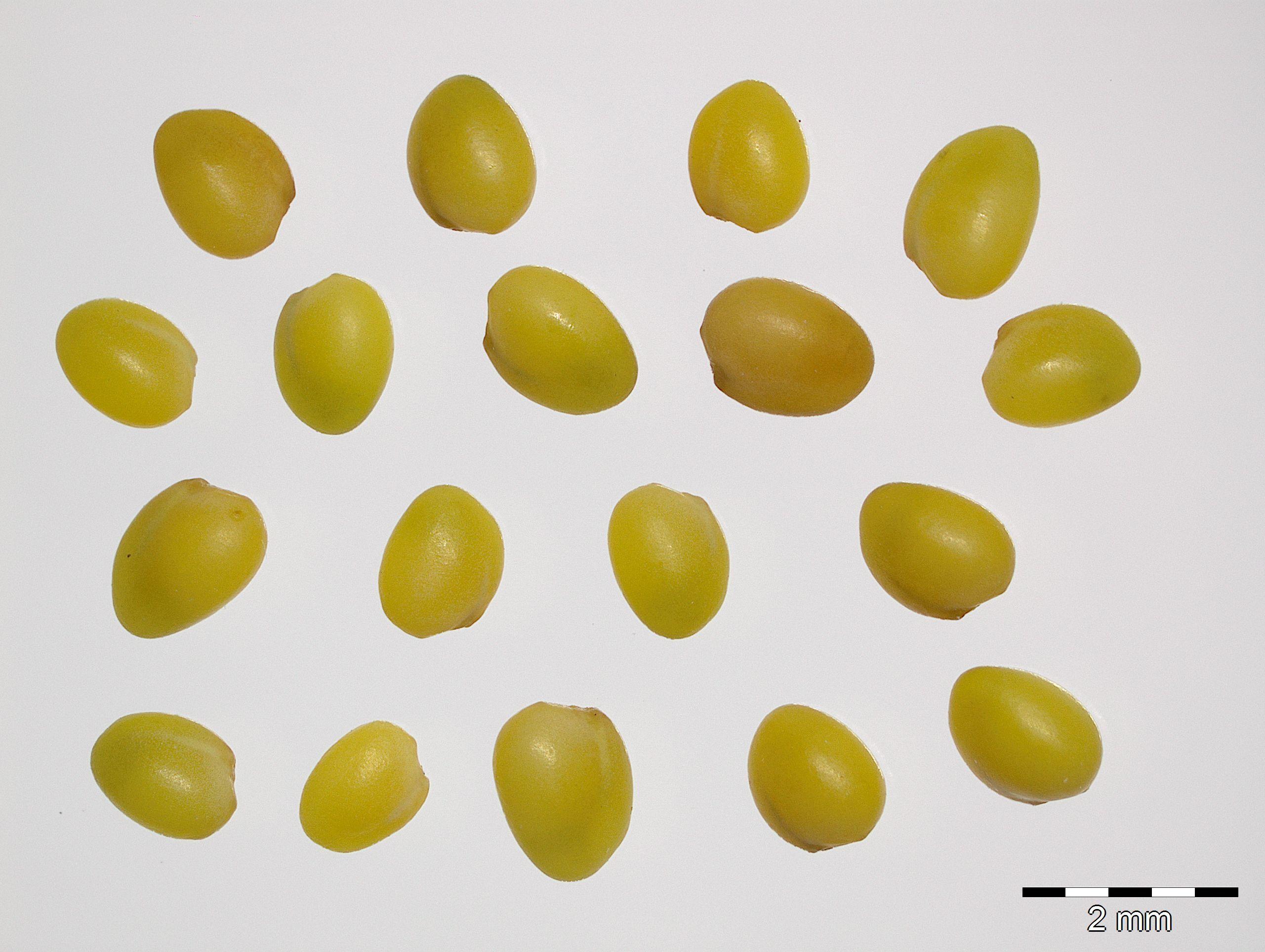 https://pictures.bgbm.org/digilib/Scaler?fn=Cyprus/Trifolium_boissieri_C2.jpg&mo=file