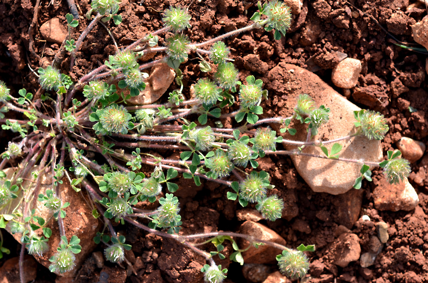 https://pictures.bgbm.org/digilib/Scaler?fn=Cyprus/Trifolium_cherleri_A1.jpg&mo=file
