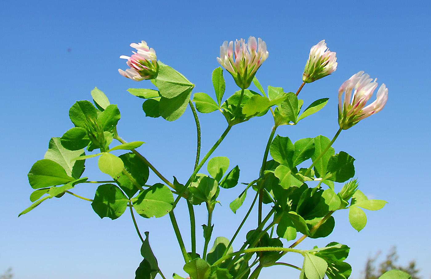 https://pictures.bgbm.org/digilib/Scaler?fn=Cyprus/Trifolium_clypeatum_A1.jpg&mo=file