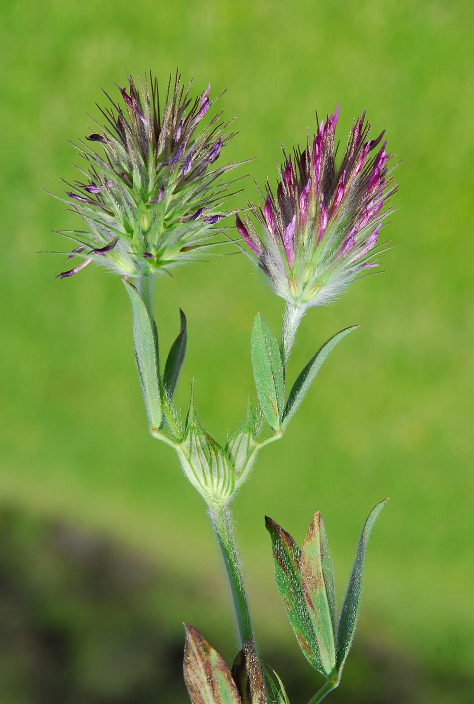 https://pictures.bgbm.org/digilib/Scaler?fn=Cyprus/Trifolium_dasyurum_B1.jpg&mo=file