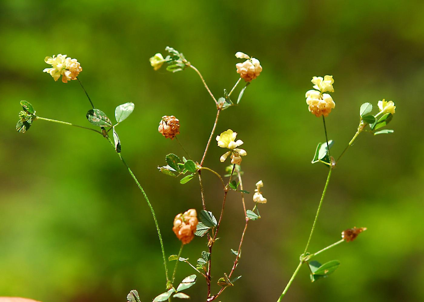 https://pictures.bgbm.org/digilib/Scaler?fn=Cyprus/Trifolium_dubium_A1.jpg&mo=file