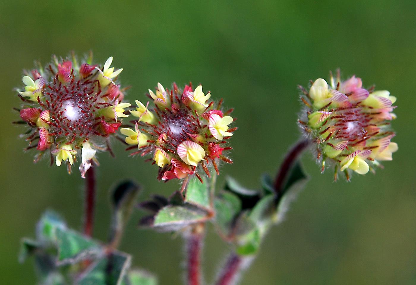 https://pictures.bgbm.org/digilib/Scaler?fn=Cyprus/Trifolium_globosum_B1.jpg&mo=file