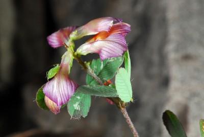 https://pictures.bgbm.org/digilib/Scaler?fn=Cyprus/Trifolium_grandiflorum_B1.jpg&mo=fit&dw=400&dh=400