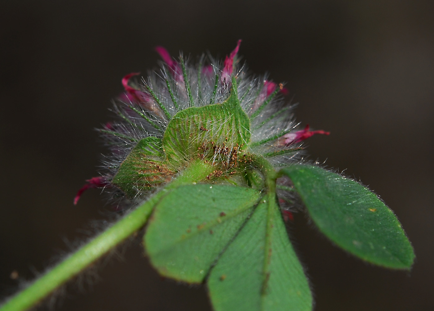 https://pictures.bgbm.org/digilib/Scaler?fn=Cyprus/Trifolium_hirtum_D1.jpg&mo=file