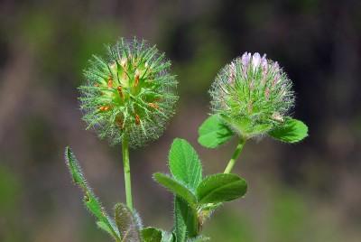 https://pictures.bgbm.org/digilib/Scaler?fn=Cyprus/Trifolium_lappaceum_B1.jpg&mo=fit&dw=400&dh=400&uvfix=1