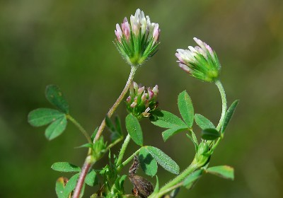 https://pictures.bgbm.org/digilib/Scaler?fn=Cyprus/Trifolium_leucanthum_A2.jpg&mo=fit&dw=400&dh=400&uvfix=1