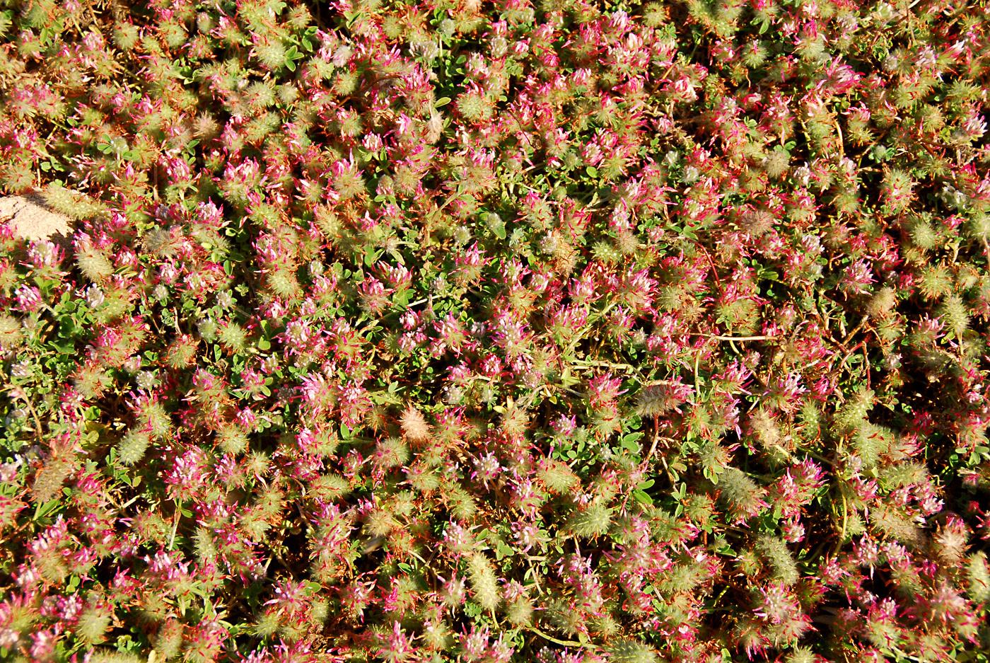 https://pictures.bgbm.org/digilib/Scaler?fn=Cyprus/Trifolium_pamphylicum_B1.jpg&mo=file