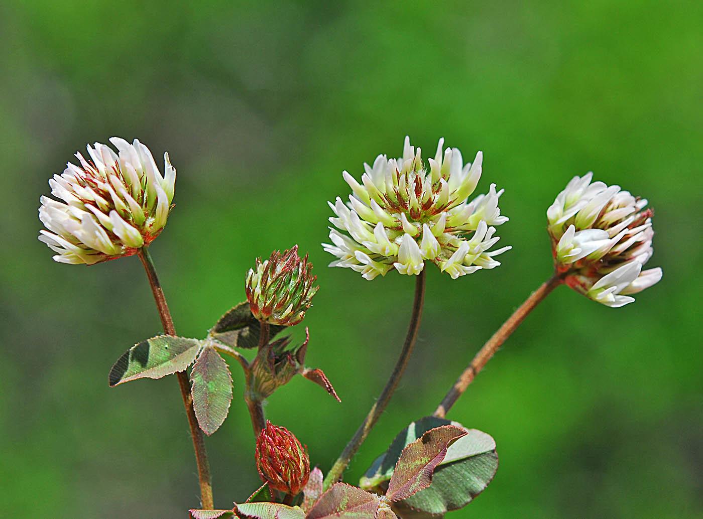 https://pictures.bgbm.org/digilib/Scaler?fn=Cyprus/Trifolium_physodes_B1.jpg&mo=file