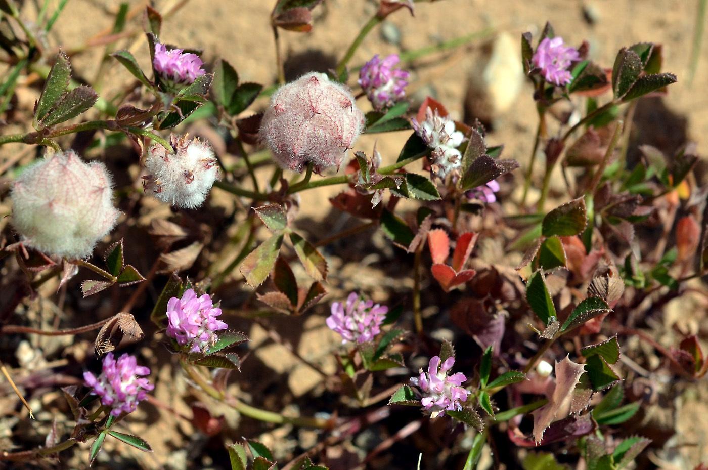 https://pictures.bgbm.org/digilib/Scaler?fn=Cyprus/Trifolium_resupinatum_C1.jpg&mo=file
