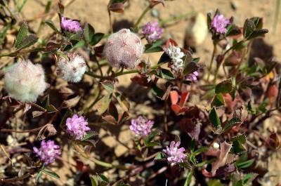https://pictures.bgbm.org/digilib/Scaler?fn=Cyprus/Trifolium_resupinatum_C1.jpg&mo=fit&dw=400&dh=400&uvfix=1