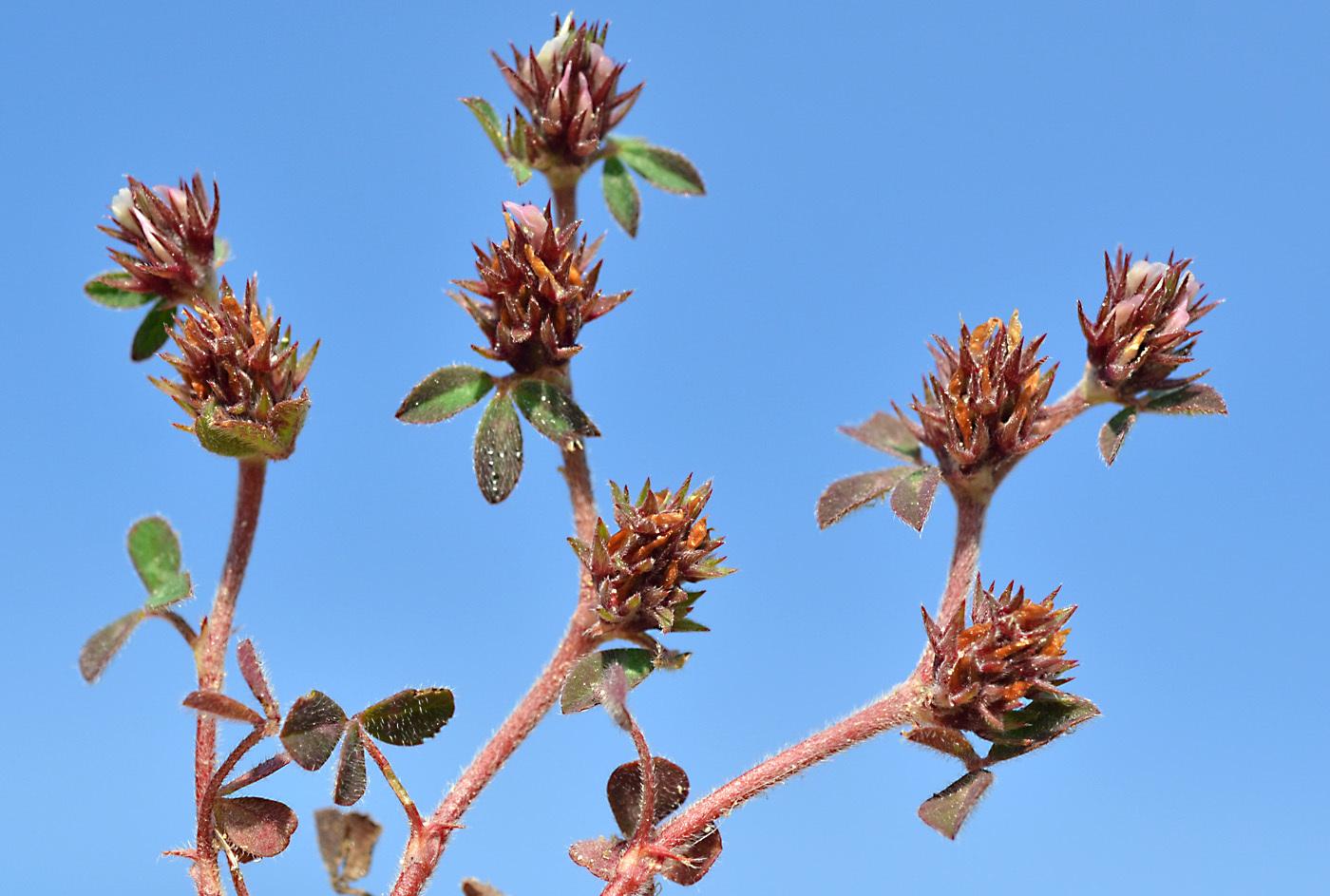 https://pictures.bgbm.org/digilib/Scaler?fn=Cyprus/Trifolium_scabrum_C1.jpg&mo=file