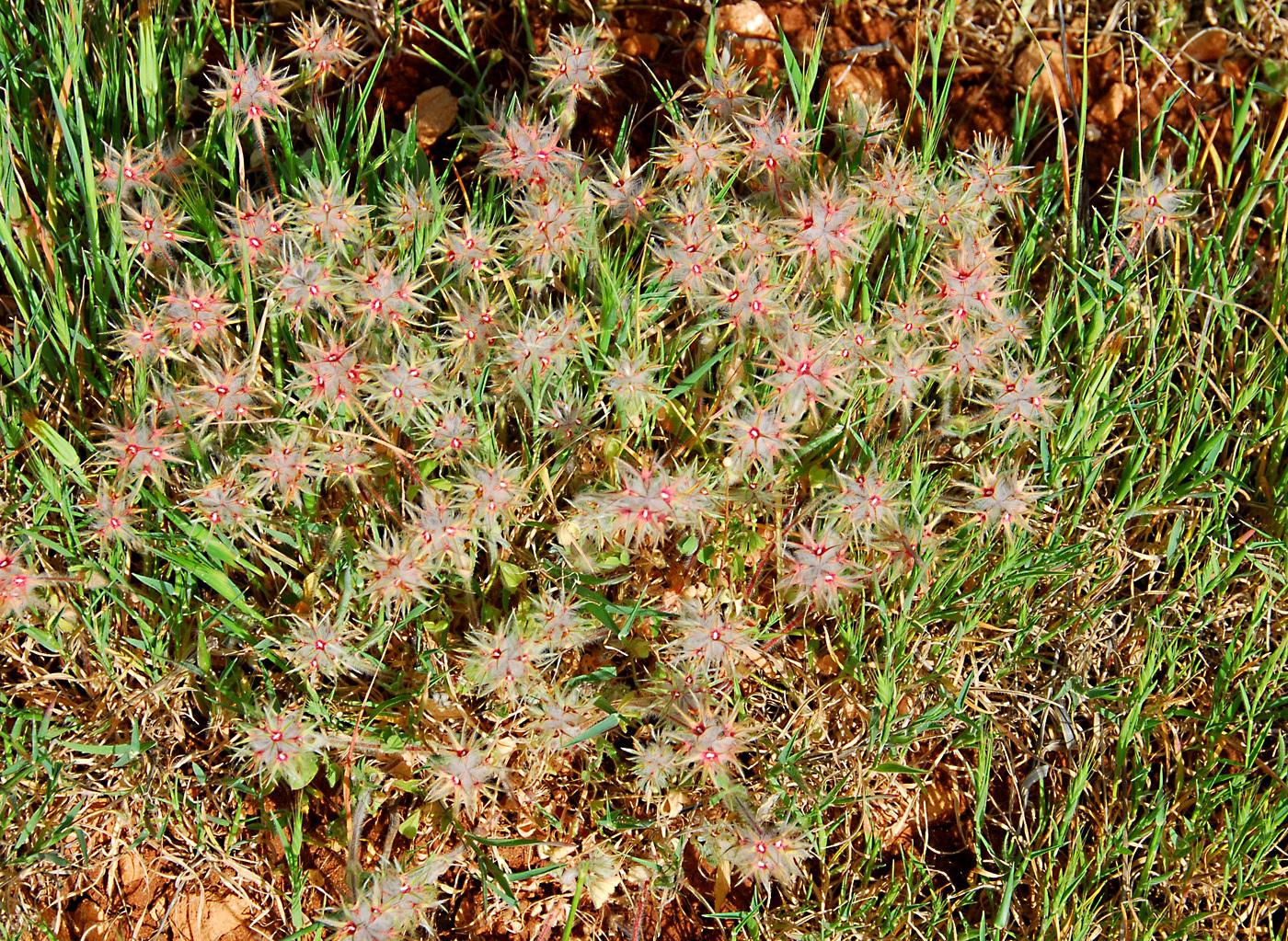 https://pictures.bgbm.org/digilib/Scaler?fn=Cyprus/Trifolium_stellatum_C1.jpg&mo=file
