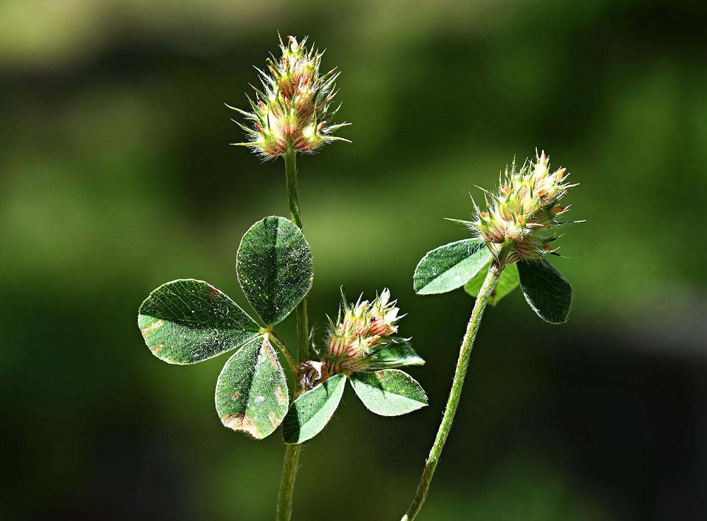 https://pictures.bgbm.org/digilib/Scaler?fn=Cyprus/Trifolium_striatum_C1.jpg&mo=file