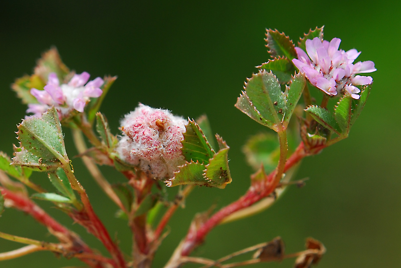 https://pictures.bgbm.org/digilib/Scaler?fn=Cyprus/Trifolium_tomentosum_B2.jpg&mo=file