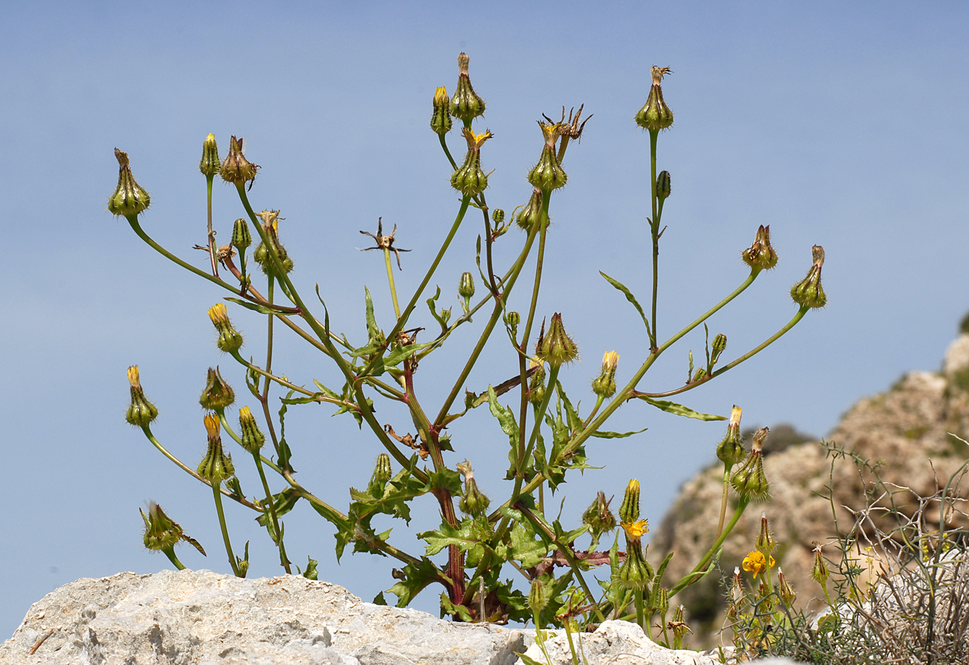 https://pictures.bgbm.org/digilib/Scaler?fn=Cyprus/Urospermum_picroides_A2.jpg&mo=file
